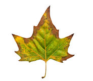 Leaf of fall Royalty Free Stock Photography
