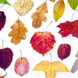 Leaf fall from multicolored autumn leaves Stock Images