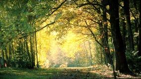 Leaf fall in the oak forest in autumn HD 1020x1080