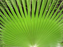 Leaf fan palm Stock Image