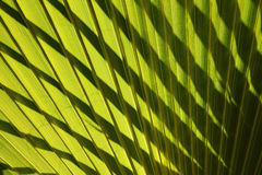 Leaf of fan palm tree with shadows. Close up. Stock Photography