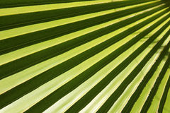 Leaf of fan palm tree with shadows. Close up. Stock Image