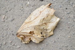 Leaf in February. Frozen leaf lying on the road in February Royalty Free Stock Photo