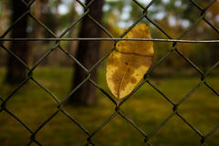 Leaf in a fence Stock Photography