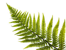 leaf of fern Stock Image