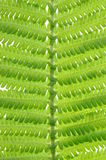 Leaf fern Royalty Free Stock Photos