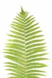 Leaf of a fern Stock Image
