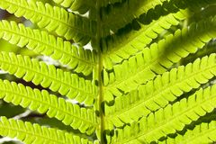 Leaf of the fern Royalty Free Stock Photo