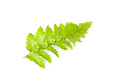 Leaf of fern isolated Royalty Free Stock Photo
