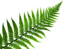 Leaf  of fern isolated close up Royalty Free Stock Photography