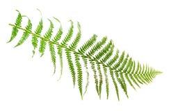 Leaf fern Royalty Free Stock Photo