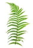 Leaf fern Stock Image