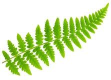 Leaf fern isolated on white background royalty free stock image