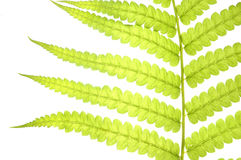 Leaf fern isolated on white Royalty Free Stock Images