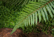 Leaf fern Royalty Free Stock Photo