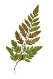 Leaf of Fern Pressed Royalty Free Stock Photos