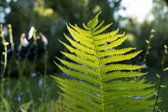 A leaf of fern in the sunlight. Royalty Free Stock Images