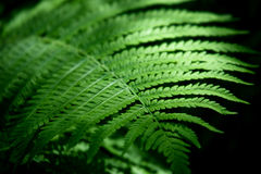 Leaf of fern Stock Images