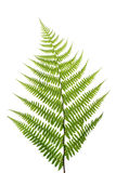 Leaf of a fern on a white. Background close up Royalty Free Stock Photography