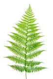 Leaf of a fern on a white