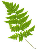 Leaf of fern on a white. ареа stock photo