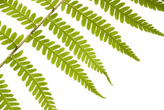 Leaf of a fern on a white background Royalty Free Stock Photos