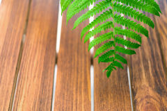 Leaf of fern on wooden background. Leaf of fern on background from painted wooden planks royalty free stock images