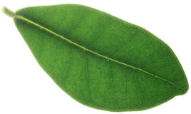 Leaf of ficus Stock Photos