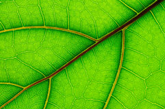 Leaf of Ficus Lyrata Royalty Free Stock Photography
