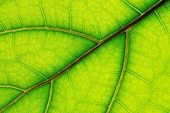 Leaf of Ficus Lyrata Royalty Free Stock Photo