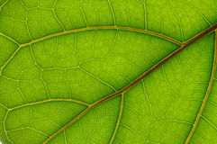 Leaf of Ficus Lyrata Stock Photography