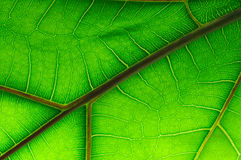 Leaf of Ficus Lyrata Royalty Free Stock Photos