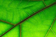 Leaf of Ficus Lyrata Royalty Free Stock Photos