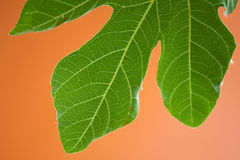 Leaf of fig tree Royalty Free Stock Images