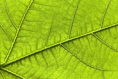 Leaf of a fig tree. A detailed shot of a fig leaf. no photoshop, no sharpening. the light is from the sun behind. taken on a glass with sun behind Stock Photography