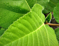 Leaf. Fig Royalty Free Stock Photography