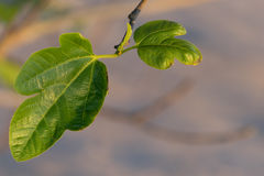 Leaf figs. The Fig leaves in the last rays Stock Photo