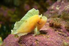 Leaf fish. Yellow leaf fish underwater resting on reef Royalty Free Stock Photos