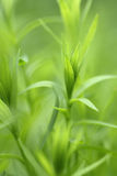 Leaf of flax plant Royalty Free Stock Photos