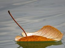 Leaf Floating, Floating, Leaf Stock Photography