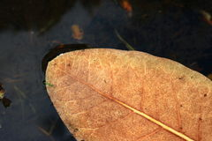 Leaf floating on water. Dry autumn leaf floating on water Royalty Free Stock Image