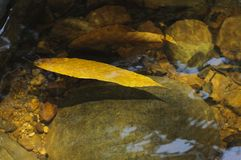 Leaf floating on water Royalty Free Stock Photography