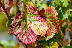 Leaf, Flora, Plant, Grapevine Family Stock Photography