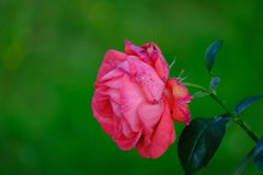 Single pink rose with green bokeh stock photo
