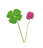 Leaf and flower of clover isolated on white Stock Image