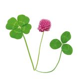 Leaf and flower of clover isolated on white Stock Images