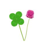 Leaf and flower of clover isolated on white Royalty Free Stock Image