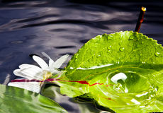Leaf and Flower on water. Flower and leaf on water Stock Image