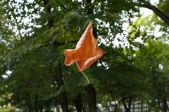 Leaf flying in air, autumn Royalty Free Stock Photos
