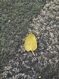 Leaf. A leaf at football field Stock Photos